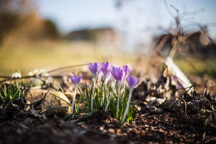 Selective focus of crocuses blooming on field