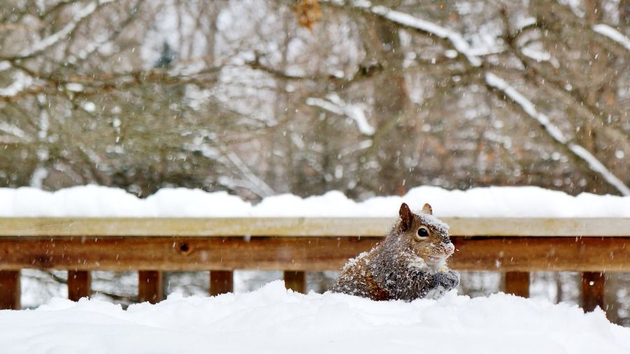 A squirrel covered in snow, nibbling on a corn kernel in the snowy backyard by Nalinne Jones. Animal Backyard Branch Cold Cold Temperature Covered Covering Cute Day Eating Foraging Forest Forest Animal Frozen Nibble Nibbling Outdoors Railing Season  Snow Squirrel Tree Tree Trunk Winter