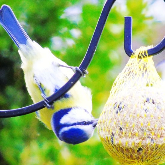 Tits. Blue Tit,bird,flying, Outdoors No People Day Close-up Nature Animal Themes Tree Eating To Stay Alive Bird Feeder Sweden Karlsborg Bird Photography Birds_collection Bird Animals In The Wild Hanging One Animal Portrait