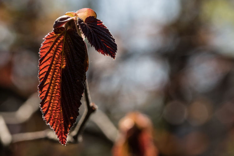 Red leaves Focus On Foreground Close-up Day Nature No People Plant Outdoors Plant Part Leaf Beauty In Nature Brown Selective Focus Red