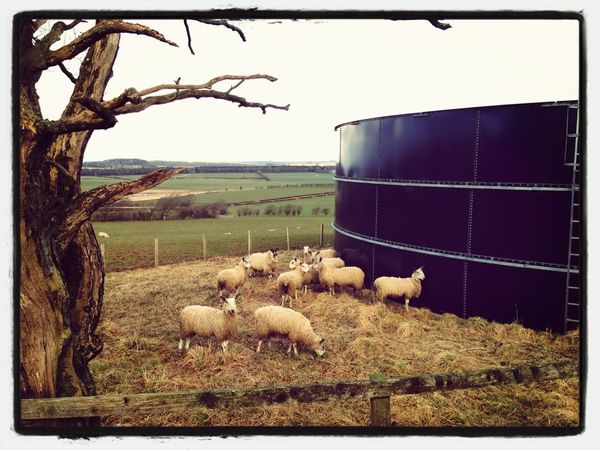 Sheep Blue Faced Leicester