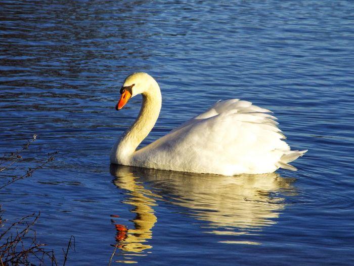 Swan floating