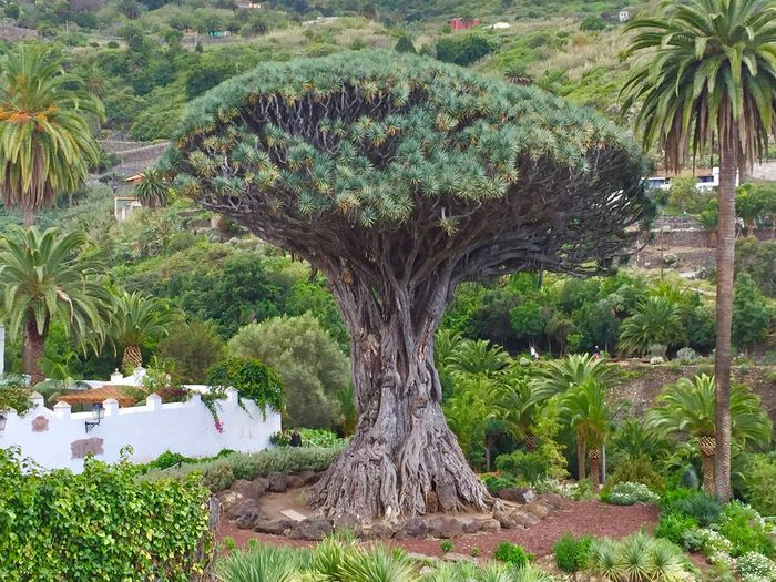 Dragon Tree Beautiful Canary Islands Tenerife View Sightseeing Quiet Moments Romantic Lonely Idyllic Plant Tree Growth Nature Land Beauty In Nature Green Color No People Tree Trunk Environment Outdoors Tranquil Scene Landscape Grass Scenics - Nature Tranquility Day Field Trunk Sunlight