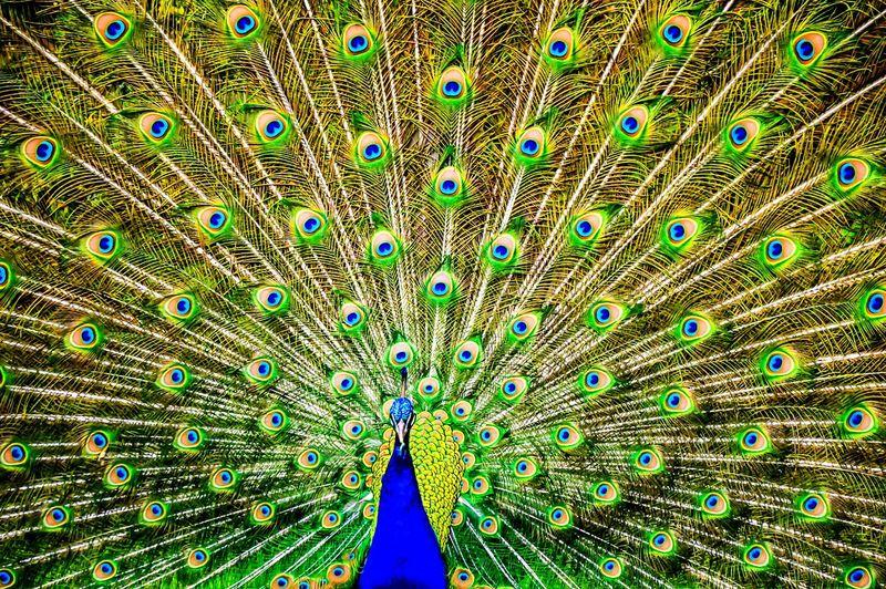 Full Frame Shot Of Dancing Peacock