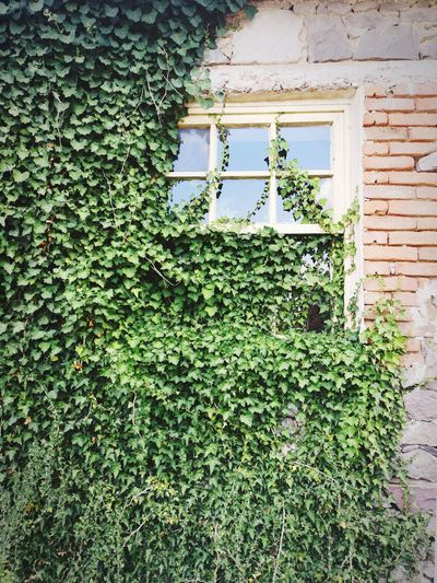 Low angle view of ivy growing on wall of building