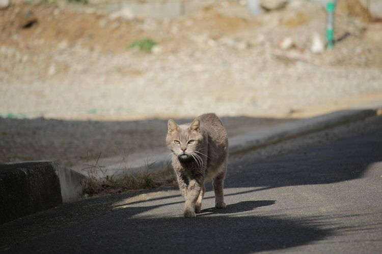 EyeEm Selects Animal Animal Wildlife Walking One Animal Animals In The Wild Feline Mammal Looking At Camera Road Day Animal Themes Portrait Leopard Outdoors No People Nature Cheetah Cats Of EyeEm