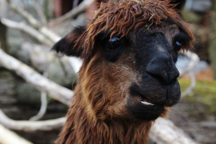 Funny Eating EyeEm Selects Pets Portrait Llama Looking At Camera Ear Animal Hair Close-up Alpaca Animal Nose Teeth HEAD Nose Mouth Animal Ear Animal Eye