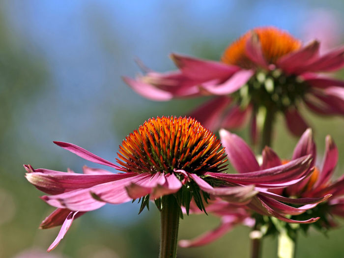 Sonnenhut (Echinacea) Blumen Blüten Botany Close-up Day Echinacea Purpurea Flower Flower Head Focus On Foreground Freshness No People Outdoors Pink Color Plant Selective Focus Softness Sonnenhut