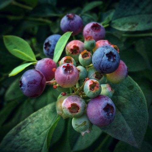 On the way to being blue...shades of ripening... the last season of my mother's garden before she sold the house Garden Fruit Colors Summer Blueberries IPS2016Closeup Blue Wave The Essence Of Summer Colour Of Life Millennial Pink Food Stories