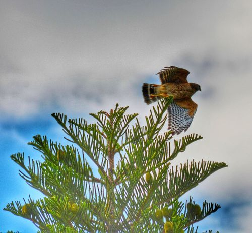 Hawk Taking Flight Bird Photography Nature Animal Themes Animals In The Wild One Animal Cloud - Sky Sky Growth No People Low Angle View Day Outdoors Beauty In Nature Spread Wings Close-up The Great Outdoors - 2017 EyeEm Awards