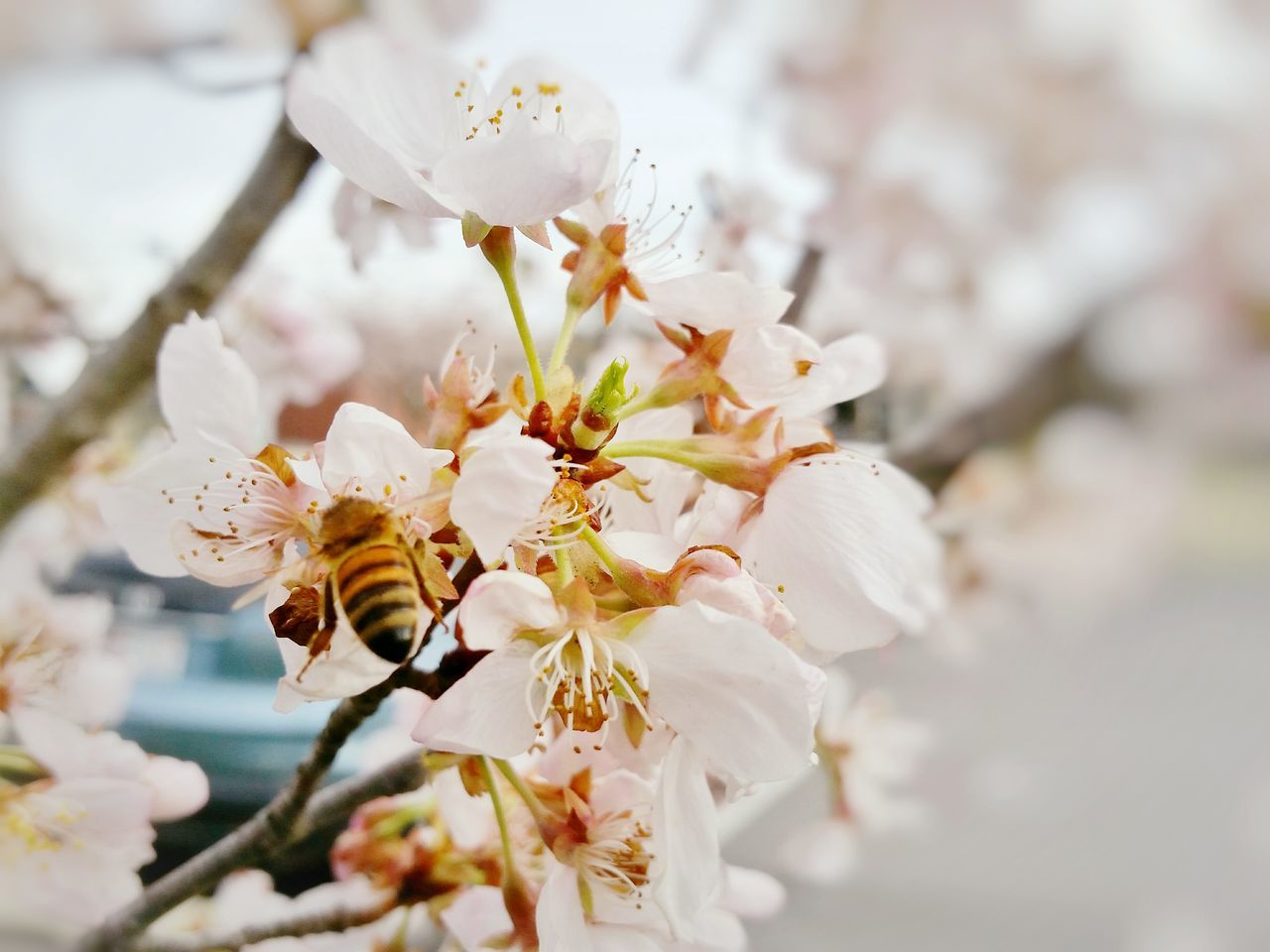 Beauty In Nature,  Bee,  Blossom,  Branch,  Close-Up