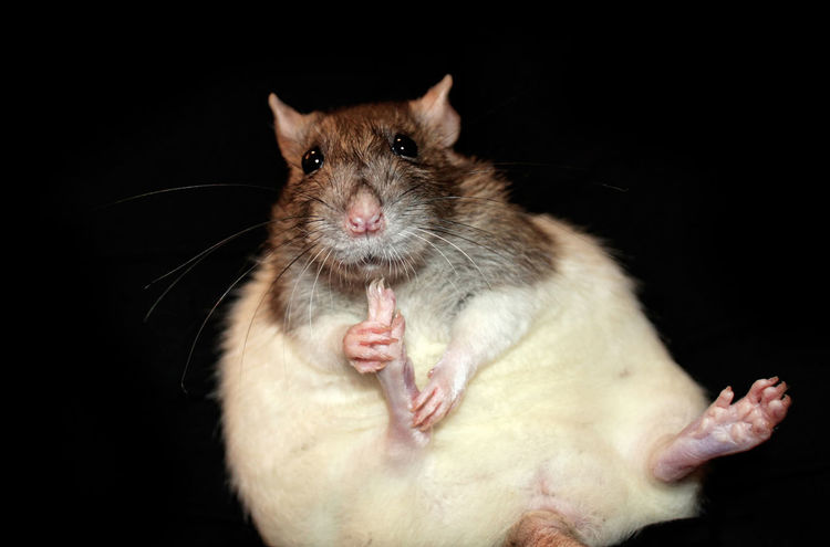 Sitting rat Black Background Cute Domestic Animals Hooded Pet Rat Rodent Sitting