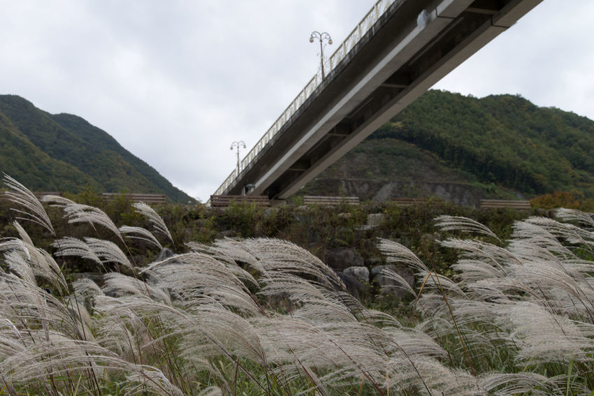 riverside view near Gossi Cave at Kimsatgat-Myeon in Yeongwol, Gangwondo, South Korea Autumn Silver Grass Beauty In Nature Blowing Winds Bridge Day Growth Landscape Mountain Nature No People Outdoors River Sky Tree Water Wind