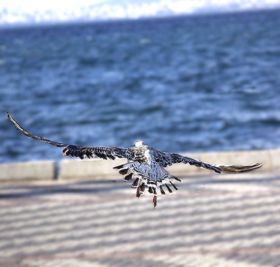 Özgürlüğe kanat cirpariz... Eye4photography  Bisgen Seagulls