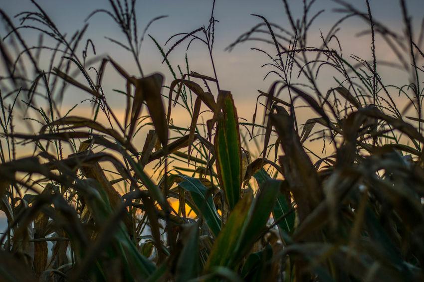 Couple Field Frankfurt Grass Man NIKON D5300 Nikon Sunrise_Collection Trees Bergenenkheim Clouds Colour Corn Docmartens Dust Fog Germany Human Body Part Lightpainting People Shoes Sigma10-20 Sunrise Wideangle