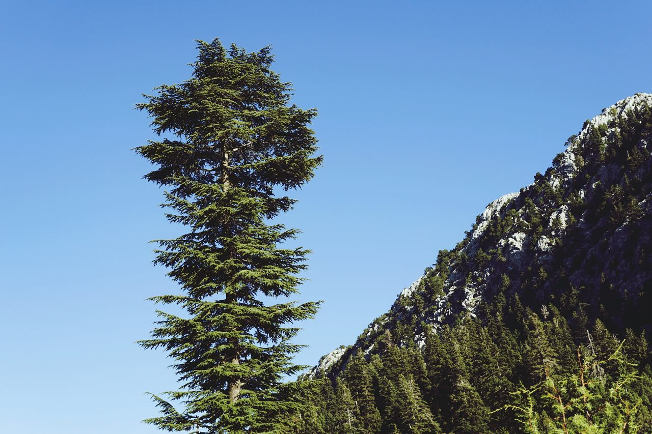 tree, low angle view, growth, nature, clear sky, beauty in nature, tranquility, no people, green color, day, pine tree, outdoors, tranquil scene, forest, blue, scenics, sky, branch