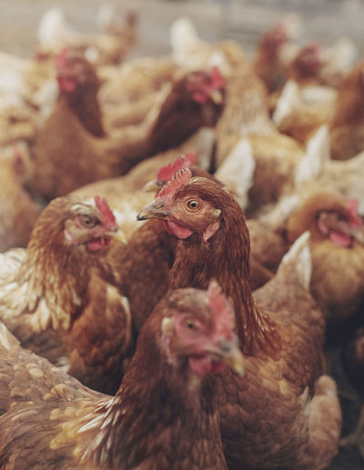 Hens Chicken Animal Animal Family Animal Themes Bird Chicken Chicken - Bird Close-up Day Domestic Domestic Animals Eyes Food Gaze Group Of Animals Hen Livestock Mammal No People Pets Selective Focus Vertebrate Young Animal Young Bird