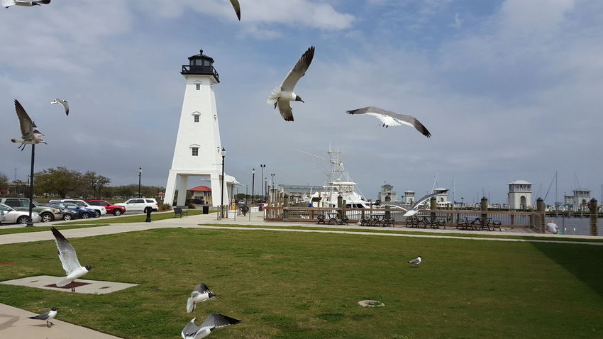 Birds In Flight Birds Of EyeEm  Birds_collection Family Fun Time Flying Gulfport Harbor Harbor Lighthouse Lunch At The Pier Nautical Birds Perfect Flight SEAGULL IN FLIGHT Seagull Riot Seagull Serenity Seagulls Wingspan