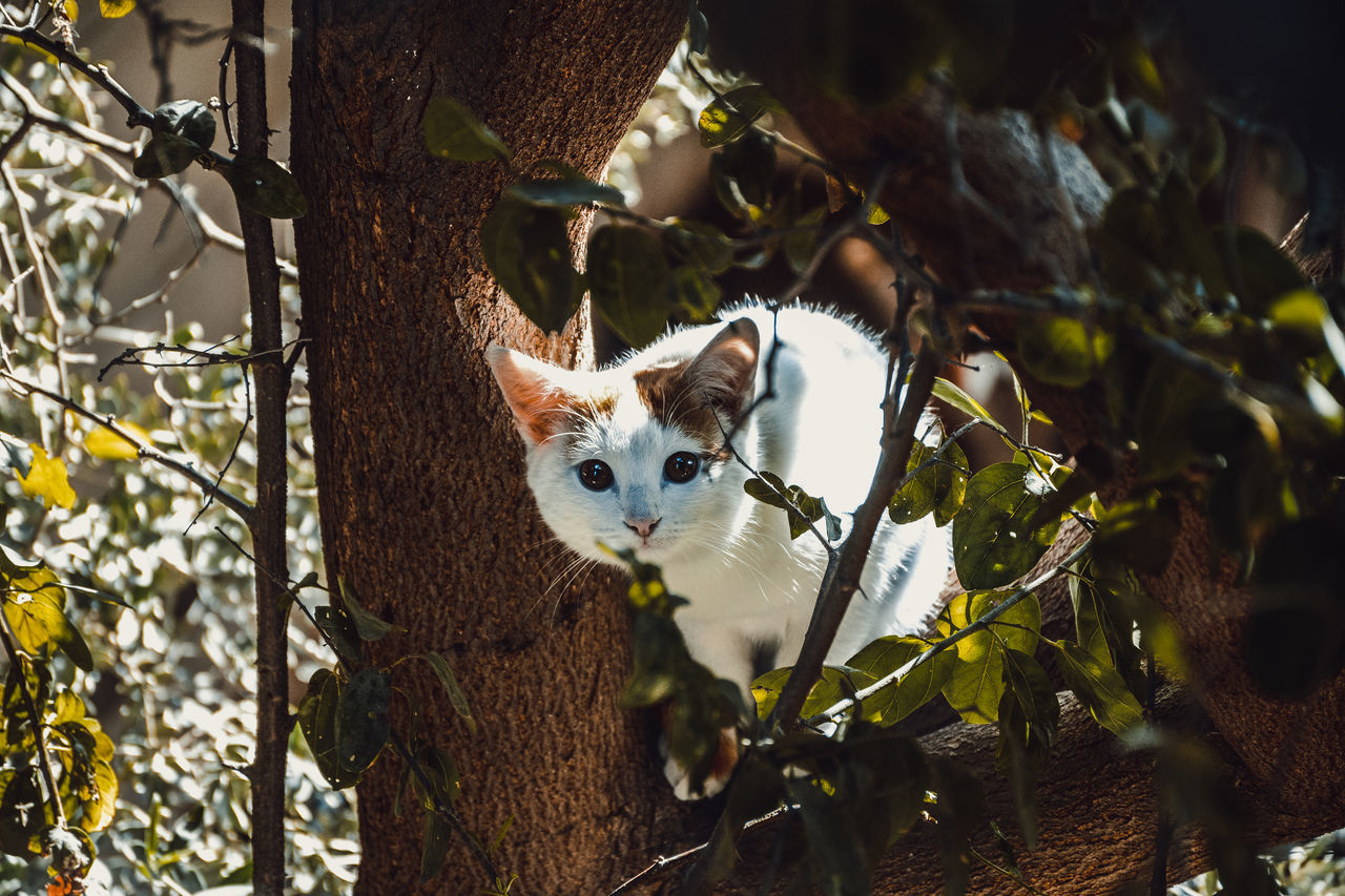 one animal, animal themes, mammal, domestic animals, pets, domestic cat, tree, no people, outdoors, feline, branch, looking at camera, portrait, day, nature