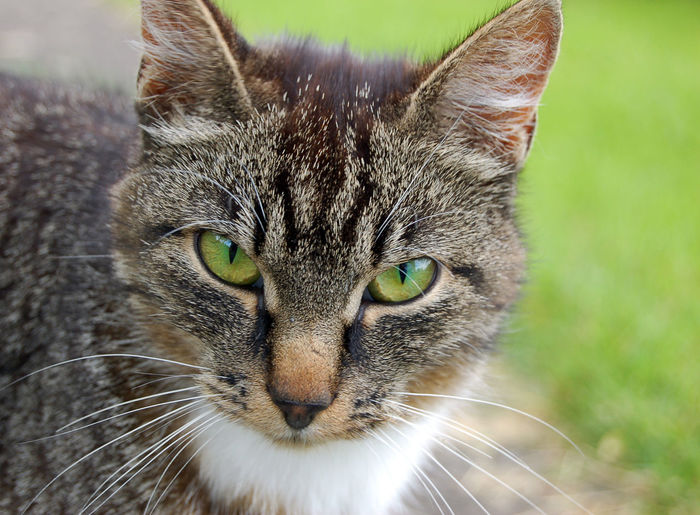 Green eyes Alertness Animal Eye Animal Head  Animal Themes Cat Cat Eyes Close-up Domestic Animals Feline Focus On Foreground Green Green Eyes Meow Pets Portrait Selective Focus Staring Whisker
