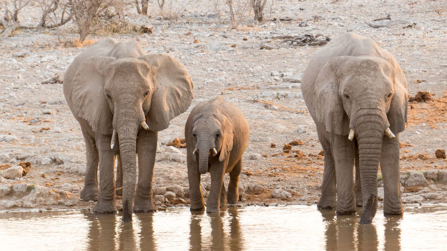 African elephants standing at lakeshore