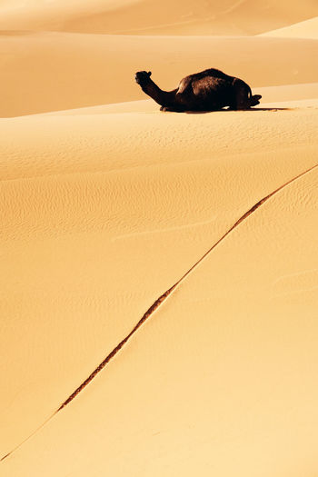 Camel Sitting On Desert