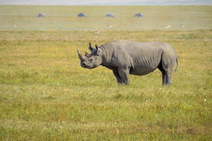 Rhino Standing in a Field African Safari Animal Photography Animal Themes Animal Wildlife Animals Animals In The Wild Rhinoceros Rhinos Safari Safari Animals Tanzania Wildlife Wildlife & Nature Wildlife And Nature Wildlife Photography