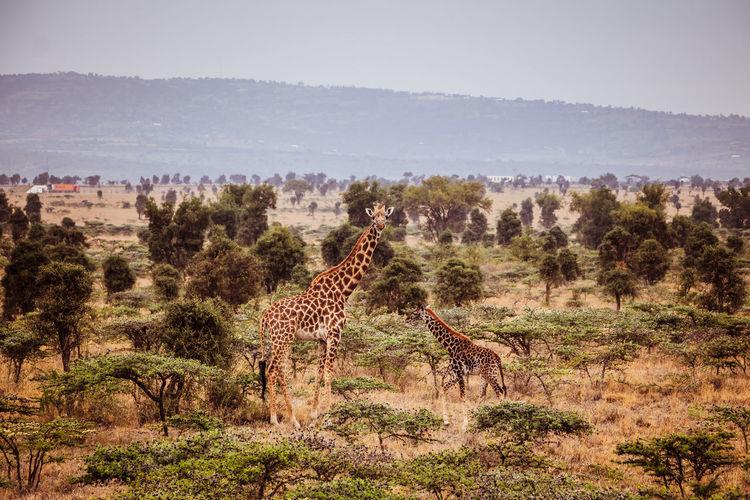 Kenya Tanzania Adventure Animal Themes Animal Wildlife Animals In The Wild Beauty In Nature Cheetah Day Full Length Giraffe Grass Landscape Mammal Nature No People Outdoors Safari Safari Animals Standing Travel Destinations Tree An Eye For Travel EyeEmNewHere