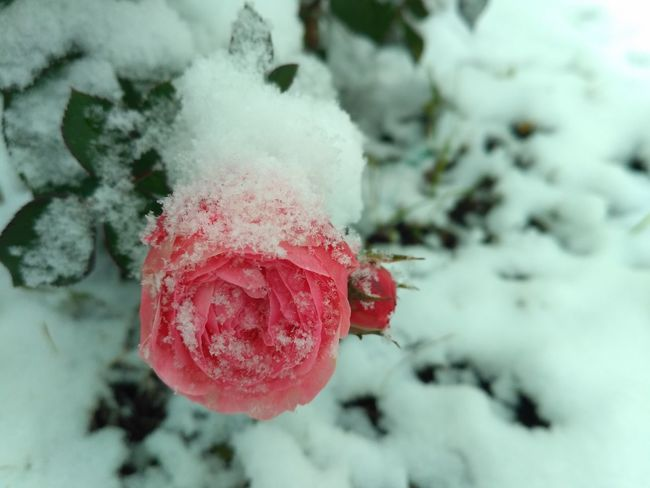 Winter & roses Snow Winter Cold Temperature Red Nature Frozen No People Day Rose🌹 Rose Garden Roses Rose Collection Snowflake Shades Of Winter Frozen Beauty In Nature Nature Beauty In Nature Snowfall Snowflakes ❄ Freshness Cold Tranquility Winter Weather