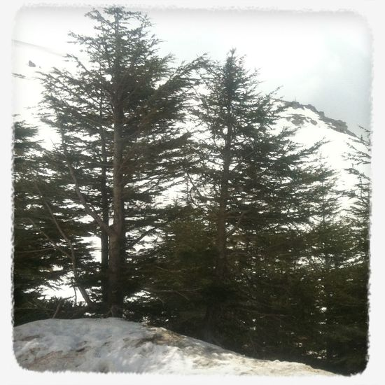 Magestic Cedar Trees