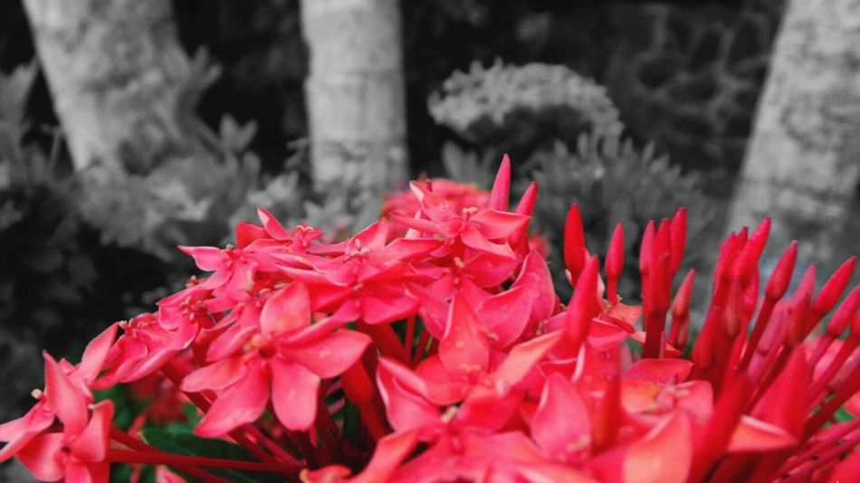 Red Flower Beauty In Nature Petal Freshness Close-up Flower Head Plant Blooming Blackandwhite Pop Of Color Pop Of Red Macro