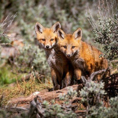 A pair of red fox kits taking a look at their surroundings. Redfox Foxkit Fox Wild Nature Utah Mirrorlakescenicbyway