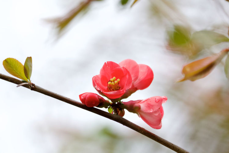 Plant Flower Beauty In Nature Growth Flowering Plant Close-up Freshness Fragility Vulnerability  Nature No People Leaf Springtime Outdoors Plant Part Flower Head Petal Pink