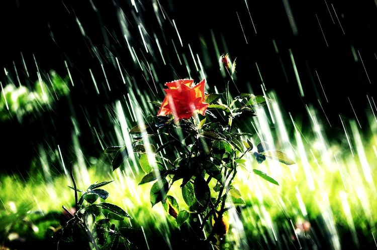 Showered Drizzling Drizzle Rose🌹 Outdoors Outdoor Photography Eyeem Philippines Nikon Flower Collection Nikonphotography Rose Collection Orange Color Orange Flower Flower Plant Green Color
