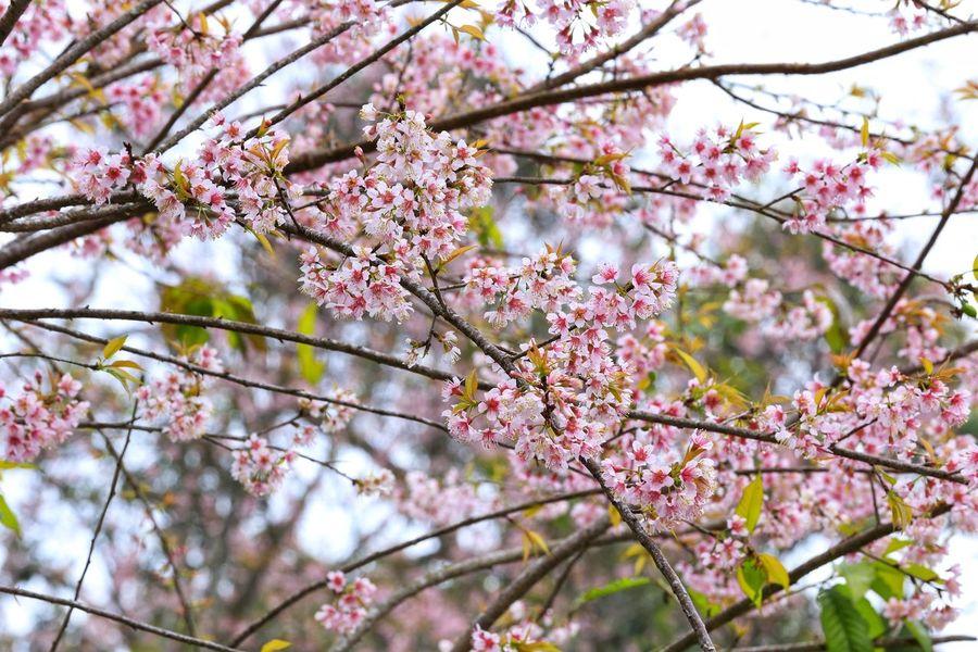 Wild Himalayan Cherry Wild Himalayan Cherry Flower Blossom Cherry Blossom Branch Springtime Cherry Tree Tree Beauty In Nature Plum Blossom Cherry
