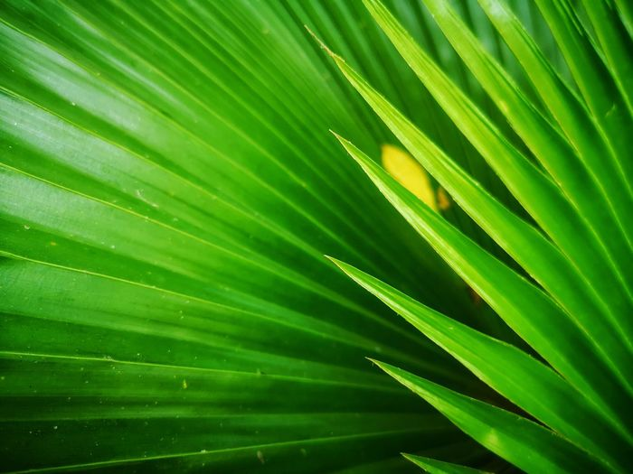 Tree Palm Tree Frond Backgrounds Leaf Multi Colored Full Frame Complexity Palm Leaf Close-up Leaf Vein Leaves Natural Pattern Focus