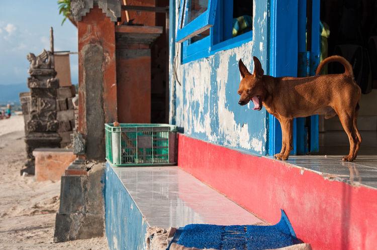 Yawning Dog - Nusa Lembongan, Indonesia Animal Themes ASIA Building Exterior Built Structure Dog Domestic Animals Doorstep Mammal No People One Animal Pets Travel Yawning Dog APS-C DSLR
