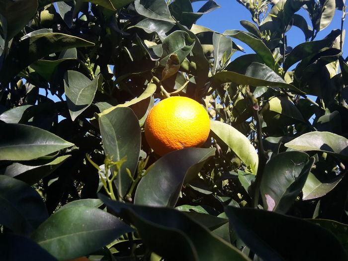 Golden orange