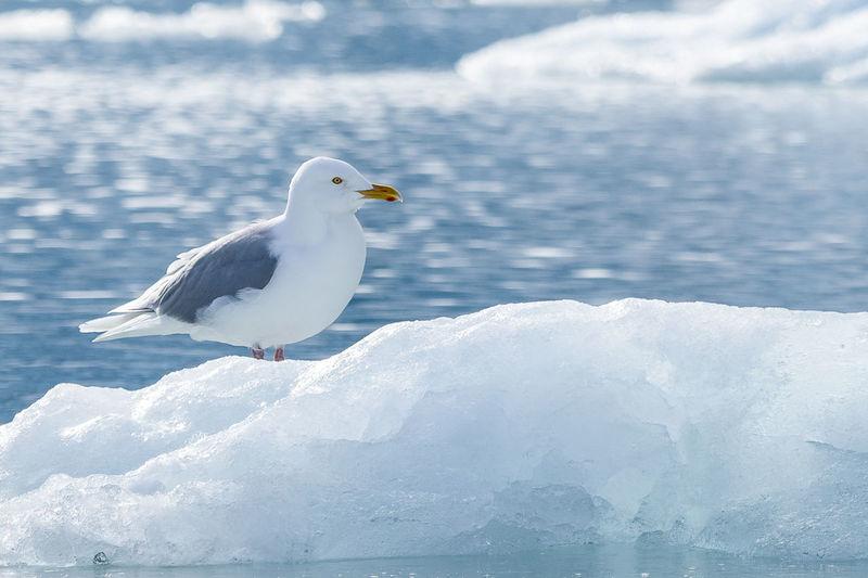 Glaucous Gull -