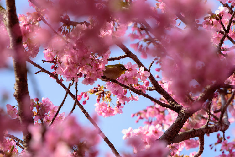 Pink Color Flowering Plant Tree Flower Branch Plant Fragility Freshness Growth Blossom Beauty In Nature Vulnerability  Springtime Low Angle View Nature Selective Focus Cherry Blossom No People Day Cherry Tree Outdoors Flower Head Plum Blossom Spring Zosterops Japonicus