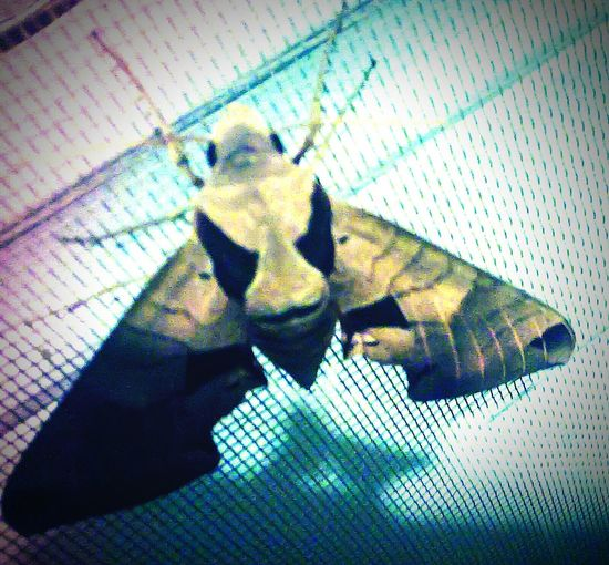 EyeEm Gallery Nature_collection Mobilephotography Editjunky Summer 2015 Motherearth Moth Insect Photography Insect Porn