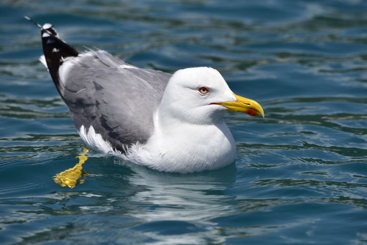 Close-up of seagull on a lake