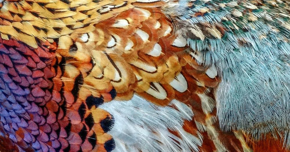 Pattern Textile Backgrounds Textured  Feather  Feathers Bird Passaro Peña Zoom Wildlife Zoo Animal Multi Colored Natureza Nature Patterns Patterns Of Nature Full Frame Faisao Colors Cores Fabric Close-up No People Out Of The Box