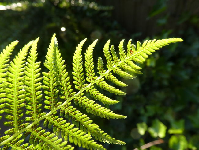 Lightened by the sun Green Color Plant Leaf Nature Beauty In Nature Focus On Foreground No People Plant Part Close-up Growth Branch Outdoors Day Fragility Freshness Beauty Fern Sunlight EyeEm Gallery Light & Shadow Dark Background Morning Light Shining In The Sun Lightened