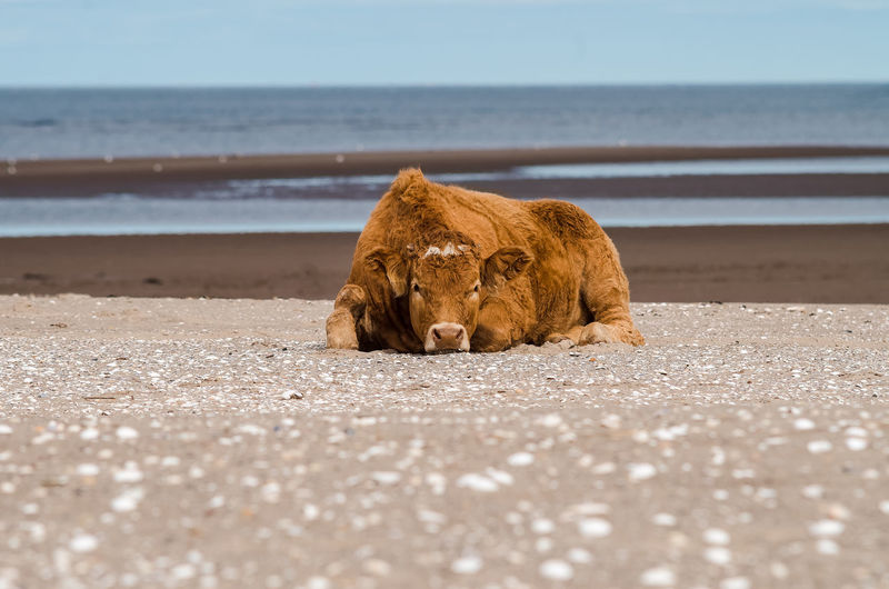 Cow relaxing at beach against sky