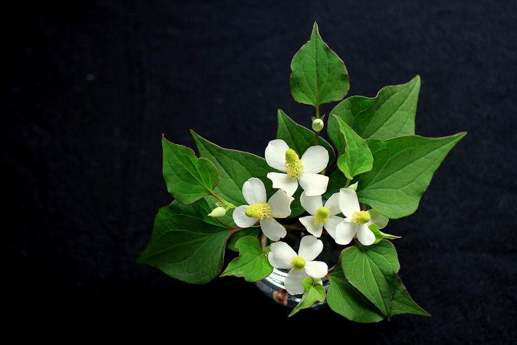 ドクダミ EyeEm Nature Lover EyeEmNewHere Houttuynia Houttuynia Cordata Japan Photography Japanese  Flower Flowers No People White Color White Flower