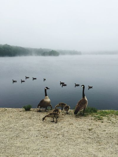 Canada Geese With Cygnets Against Lake