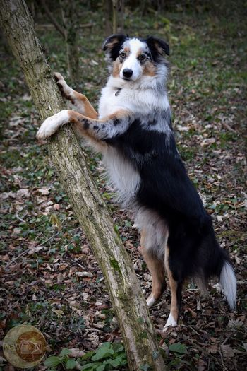Such a poser ♥ Border Collie Leothebordercolliedog Tricolour Treehugger Dog One Animal Pets Domestic Animals Mammal Outdoors Animal Themes No People Day Tree Portrait Nature