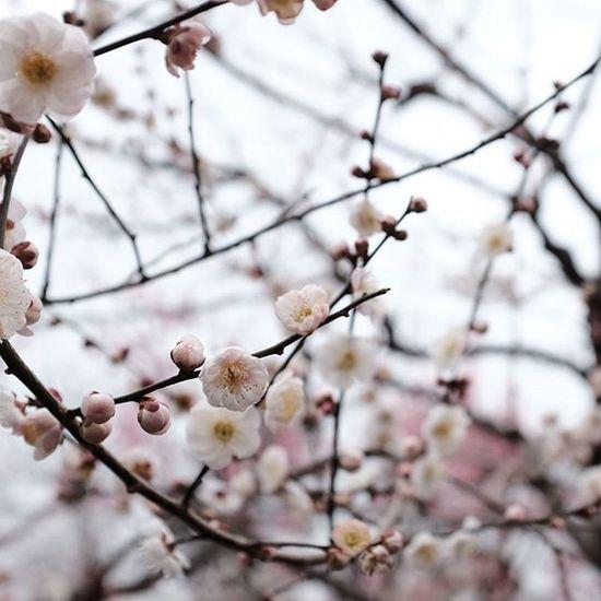 Plum blossom Travelwithwife Fujifilmph Fujifilm X100t Kyoto Japan Plumblossom
