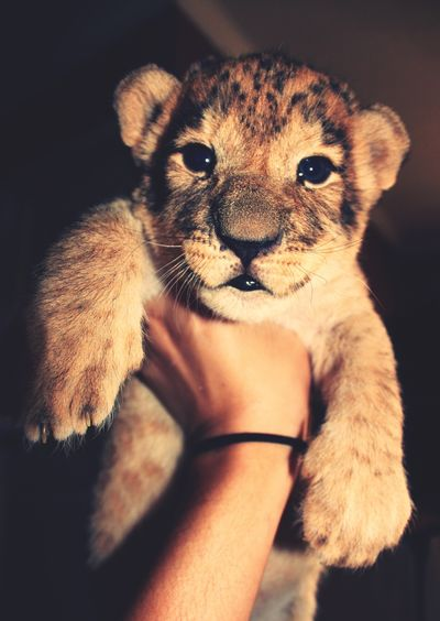 Lion Cub with